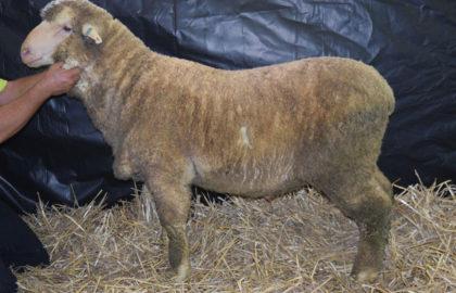 B79 Extreme – Karowara Plains Poll Merino Ram